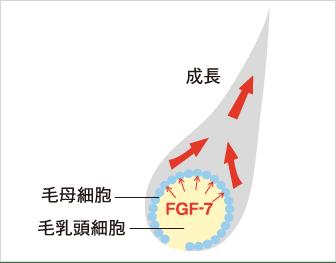 期待の発毛因子「FGF-7」